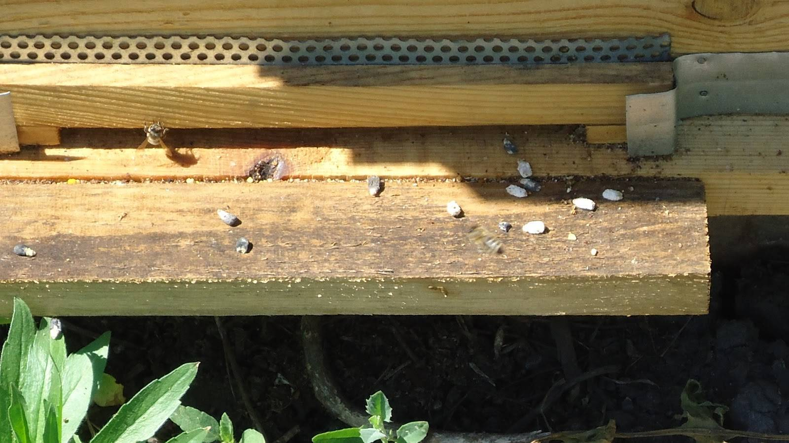 Об аскосферозе пчел: чем лечить известковый расплод у пчел, причины и симптомы