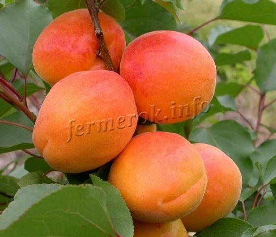 Описание и характеристика абрикоса сорта фаворит