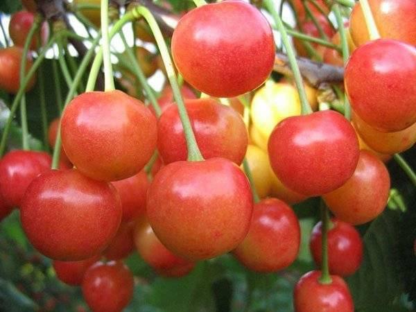 Черешня дончанка — описание сорта, фото, отзывы садоводов