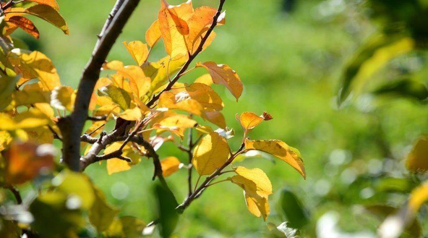 Что делать, если у груши сохнут листья и ветки