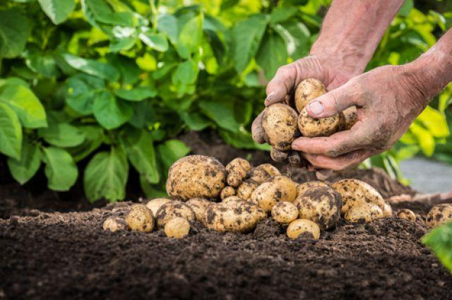 Посадка картофеля весной в открытый грунт: сроки, правила и рекомендации для получения богатого урожая