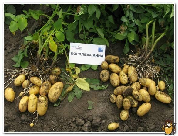 Описание сорта картофеля лорх, особенности выращивания и ухода