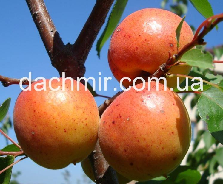 Описание и характеристика сорта абрикоса десертный