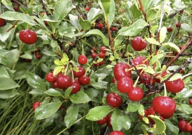Вишня уральская рубиновая — описание сорта, фото, отзывы садоводов