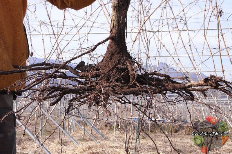 Как правильно пересадить виноград?