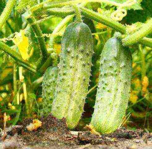 Сорт огурцов миранда f1: описание, характеристика, отзывы
