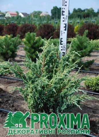 Можжевельник обыкновенный мейер (juniper communis meyer)