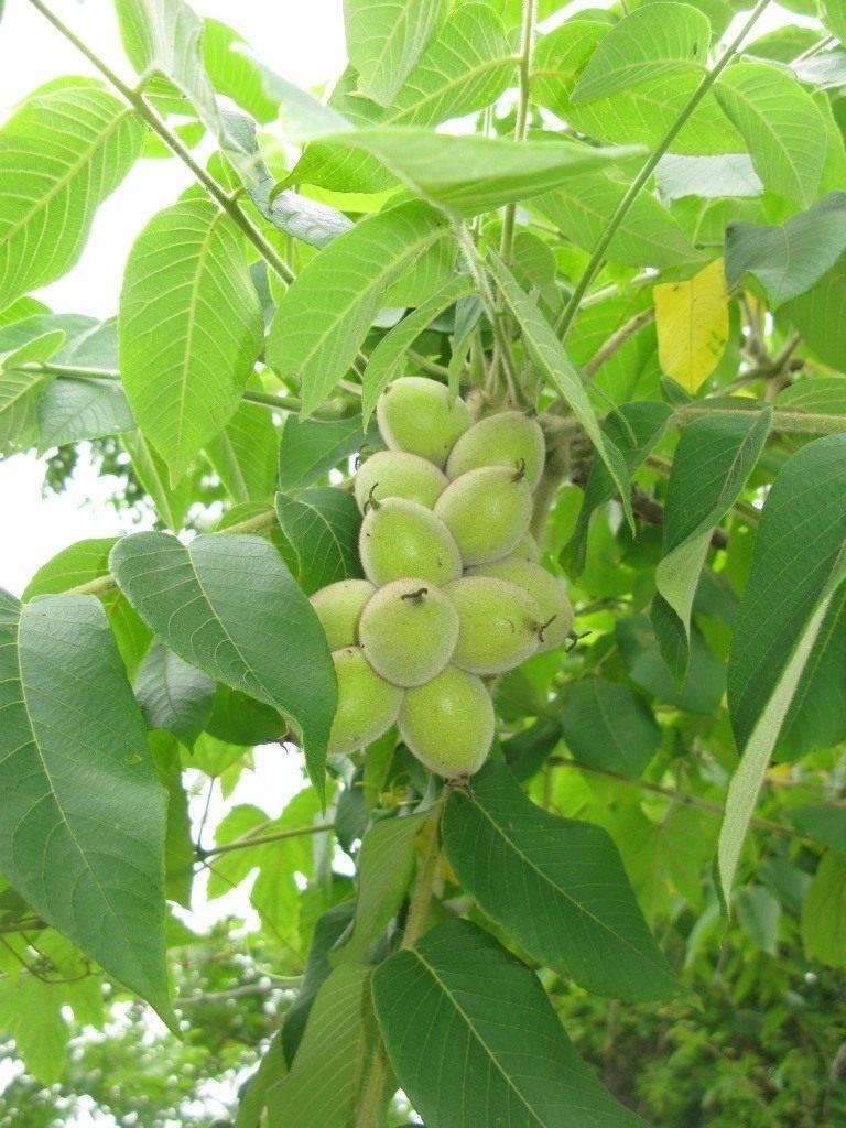 Размножение маньчжурского ореха