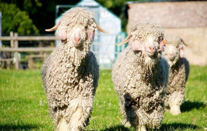 Русская белая коза: описание, характеристики и условия содержания породы