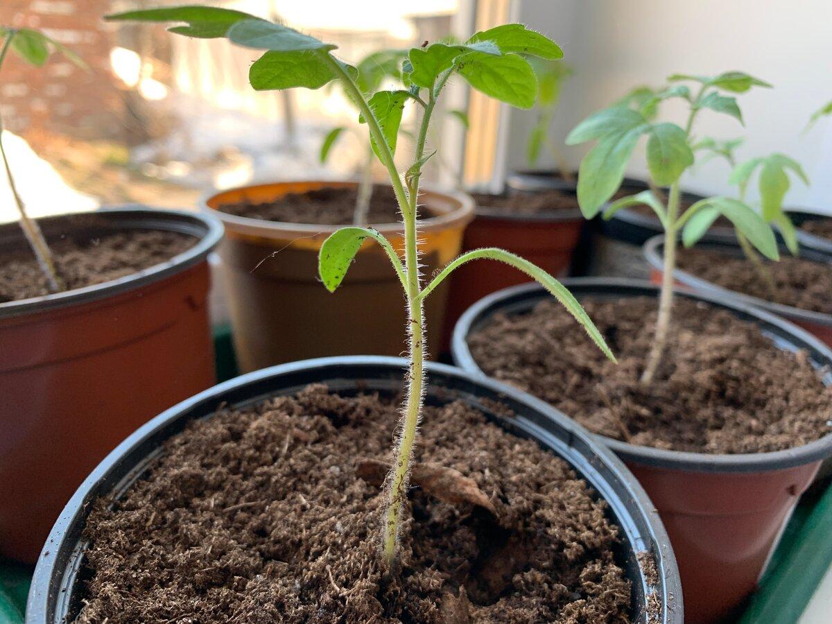 Не растет рассада помидор