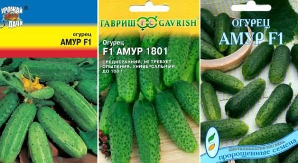 Описание и правила выращивания сорта огурцов амур f1 + видео