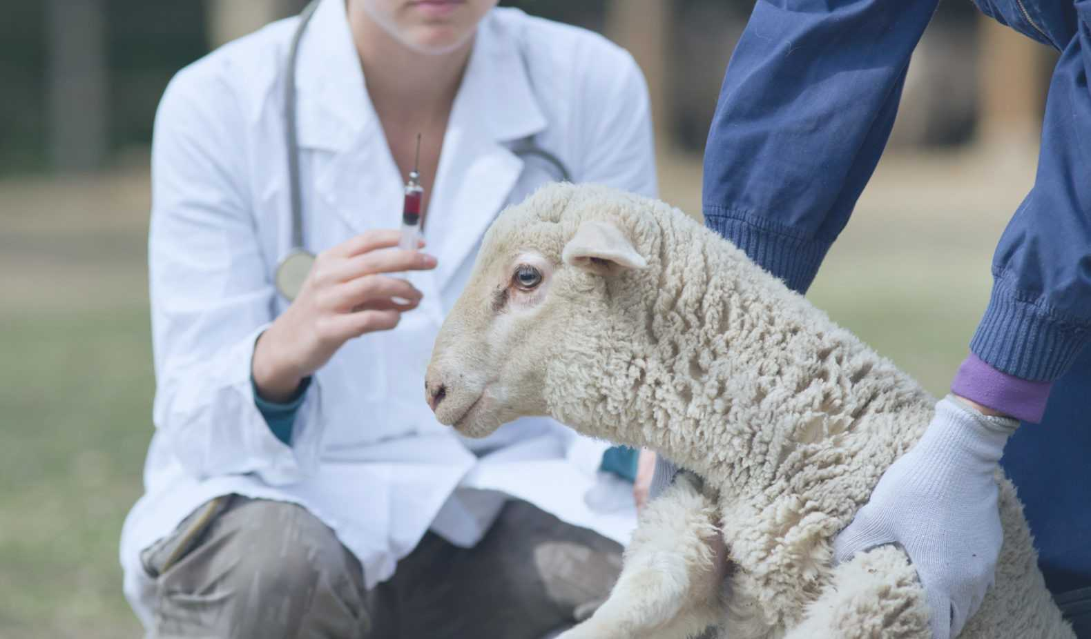 Симптомы глистной инвазии у коров, варианты лечения