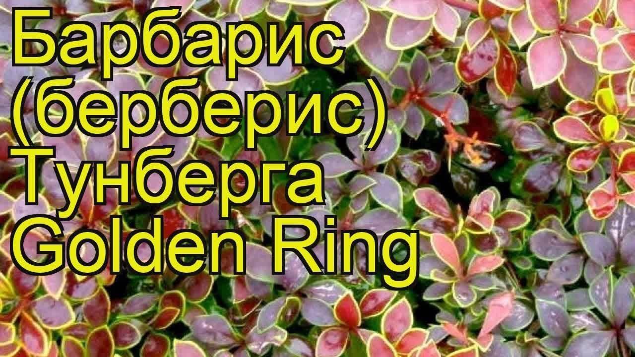 Барбарис «голден ринг» или то, как сделать яркий акцент в саду среди зелени