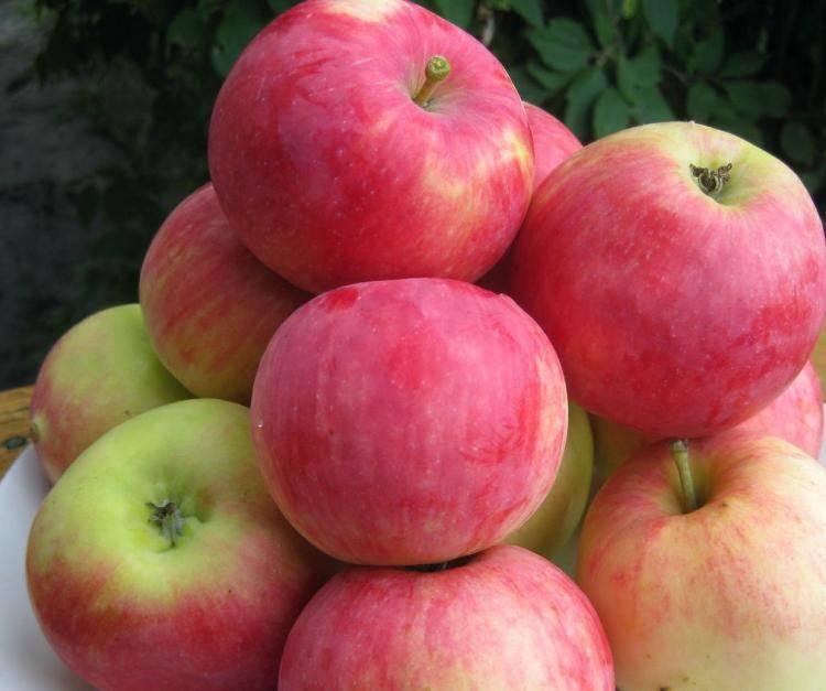 Яблоня конфетное: описание сорта, фото, отзывы садоводов