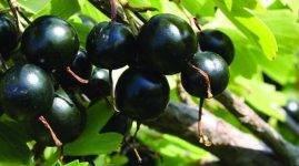 Смородина чёрная оджебин — основные характеристики сорта