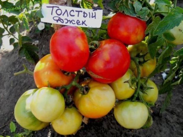 Детерминантный сорт помидоров «толстый джек»: описание, характеристика, урожайность, фото и видео
