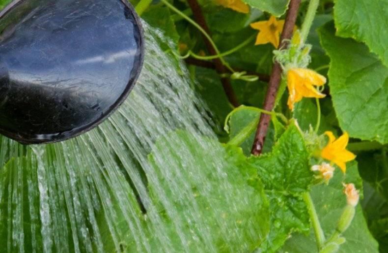 Как избавиться от пустоцвета на огурцах и повысить урожайность