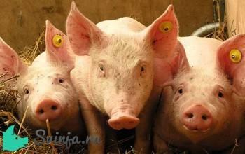 Причины высокой температуры у свиньи – клуб любителей хрюш
