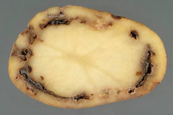 Кольцевая гниль картофеля. меры борьбы