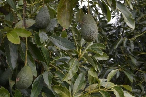 Авокадо хасс: польза калорийность и полезные советы по выбору спелого фрукта - здоровье на joinfo.ua
