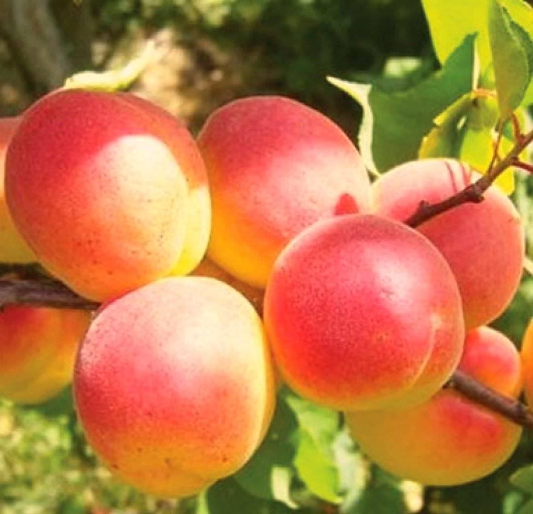 Сорт абрикоса краснощекий — описание посадка и отзывы садоводов