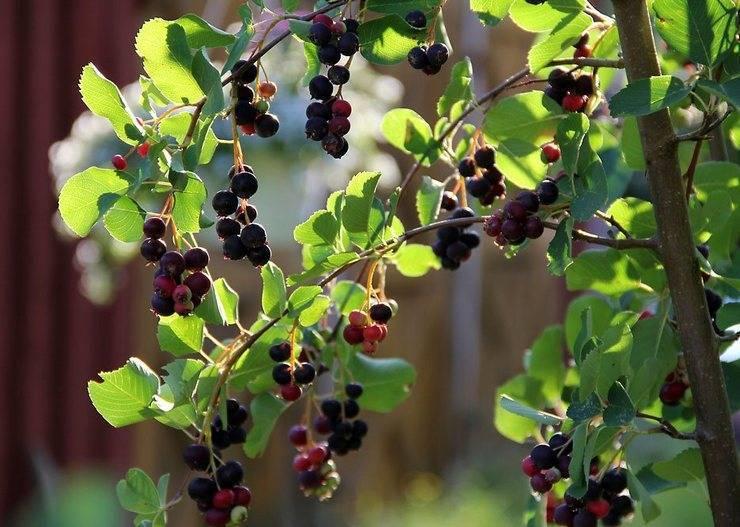 Ирга - лиственные деревья и кустарники - декоративные деревья и кустарники - greeninfo.ru