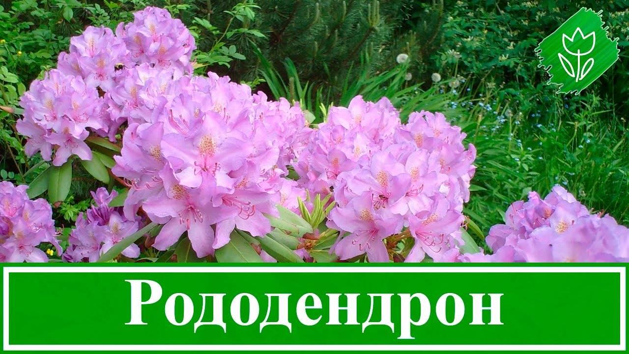 Посадка, уход и лучшие сорта рододендронов для ленинградской области