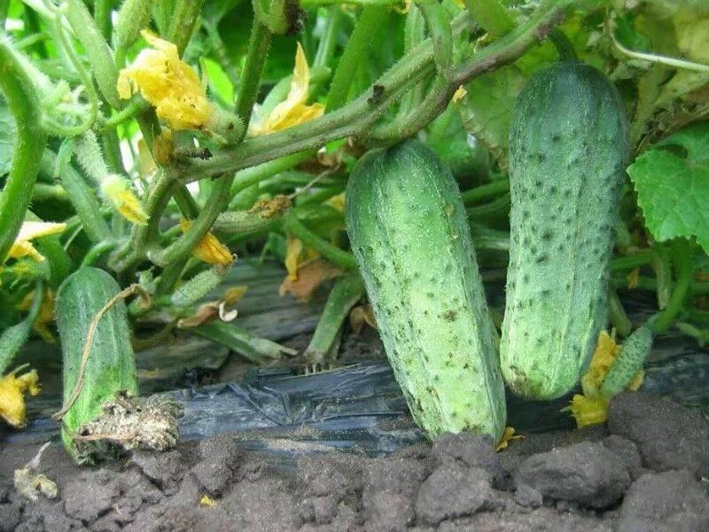Огурец шоша f1: характеристика и описание сорта, отзывы, фото, видео, посадка, выращивание