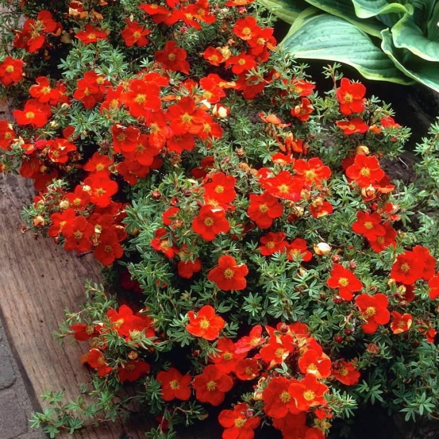 Лапчатка кустарниковая Ред Айс: описание, выращивание, фото