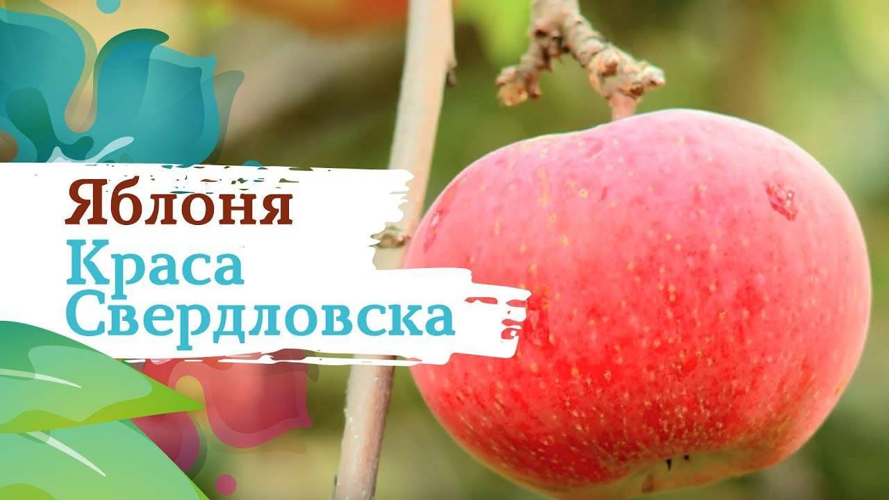 Характеристика уральского сорта яблони краса свердловска