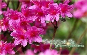 Цветок с необычной красотой – азалия. чем отличается от рододендрона и гардении и что их объединяет?