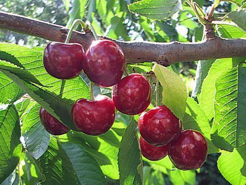 Черешня валерий чкалов – надёжный проверенный сорт с крупными плодами