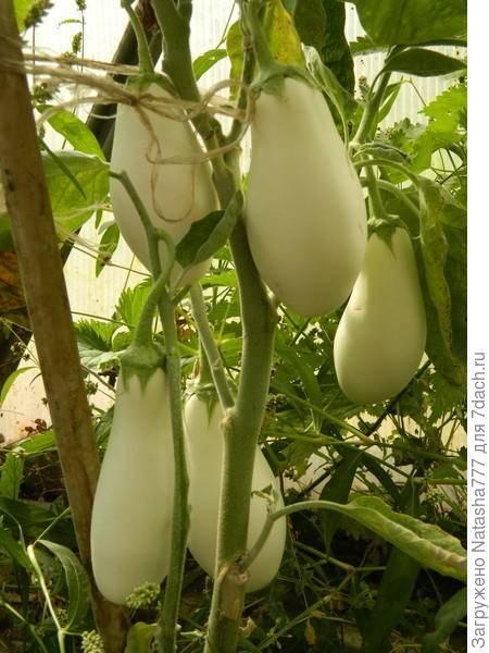 Белые сорта баклажан с описанием и фото
