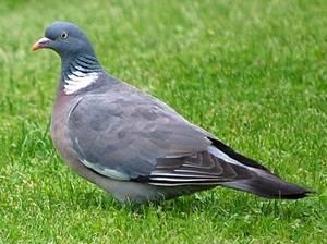 Вяхирь дикий голубь. образ жизни и среда обитания вяхиря | животный мир