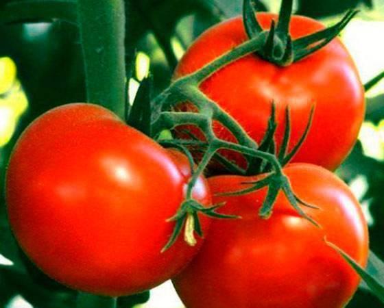 Сорта томатов ультраскороспелые