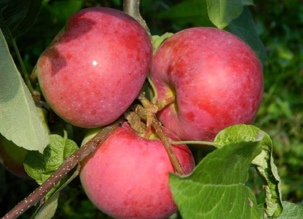 Яблоня эрли женева — описание сорта, фото, отзывы