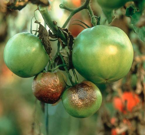 Сорта томатов, устойчивые к фитофторе, для теплицы из поликарбоната