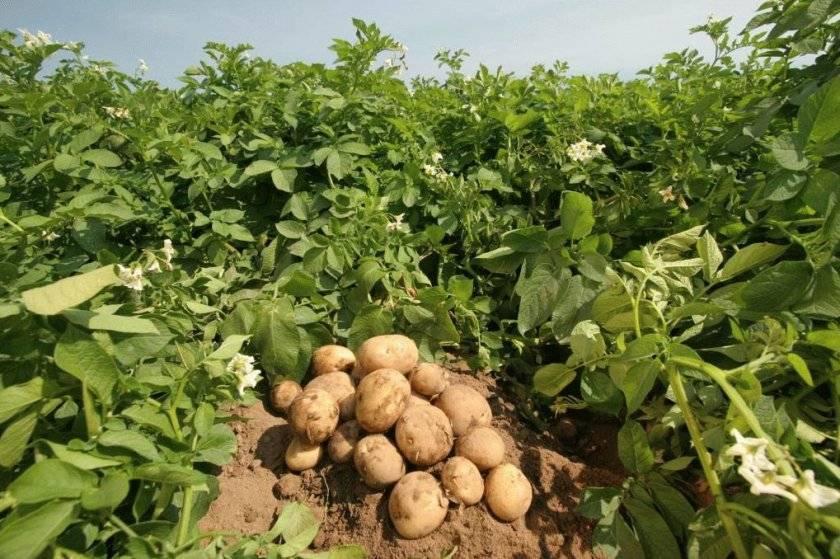 Картофель сорта лидер и мировые лидеры по выращиванию картофеля
