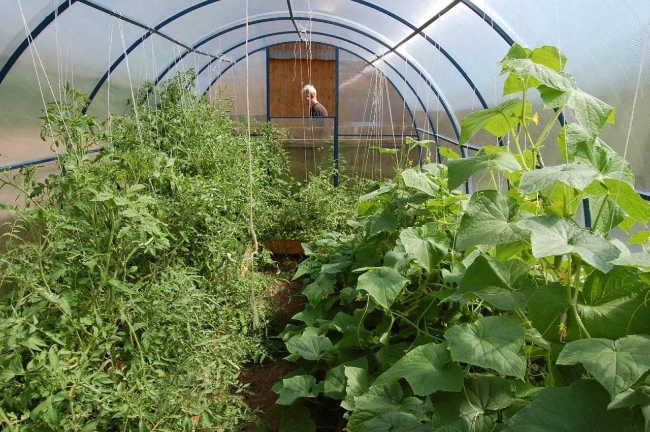 Выращивание огурцов в теплице из поликарбоната: посадка и уход