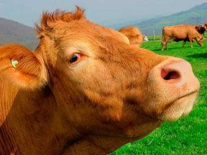 Ацидоз что это такое у коров