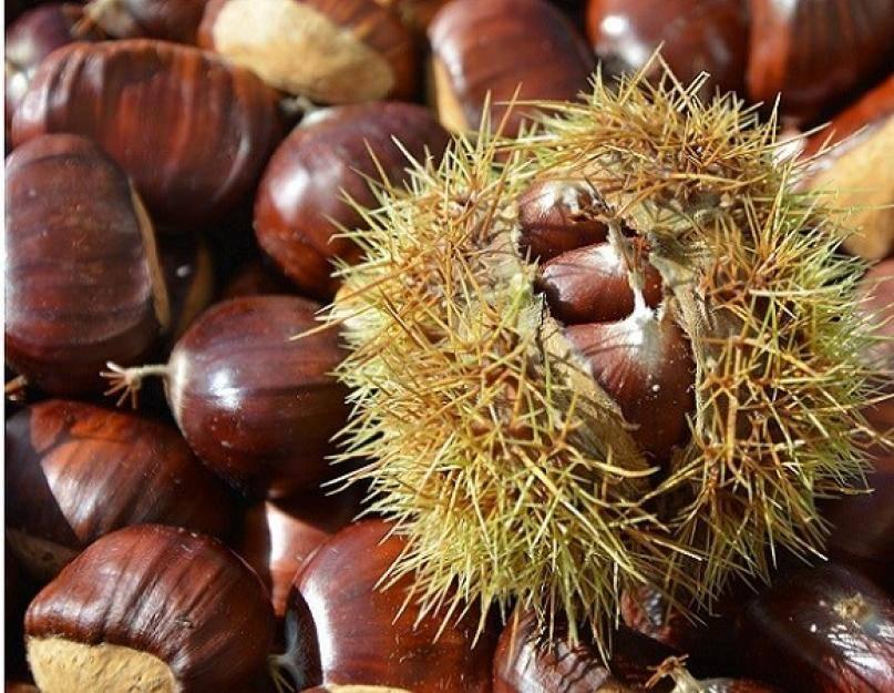 Выращиваем конский каштан из ореха в домашних условиях