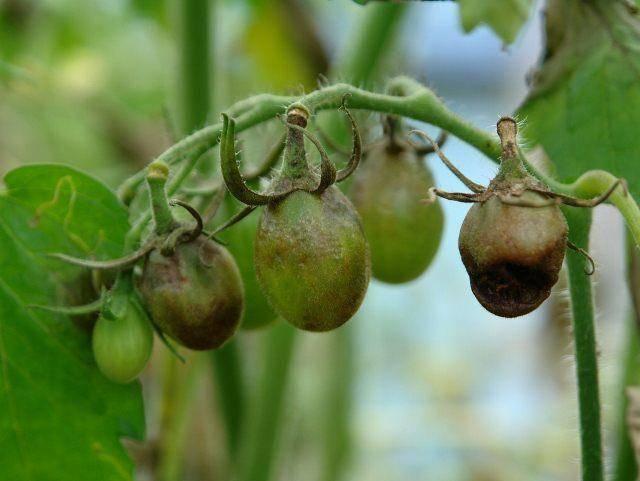 8 народных рецептов для обработки рассады помидоров от фитофторы в теплице