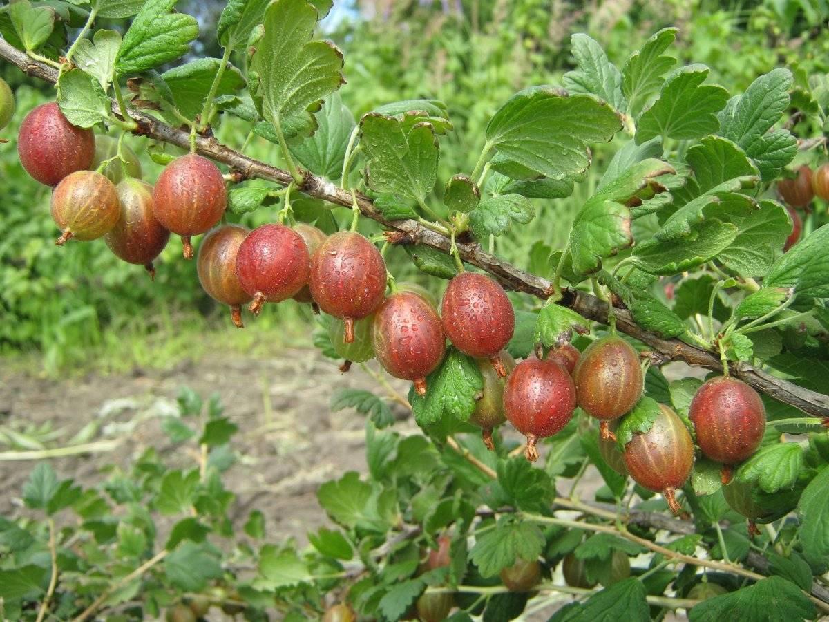 Крыжовник яровой: характеристика, особенности выращивания и размножения