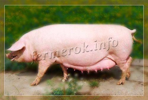 Порода свиней Мангал: содержание и уход за поросятами