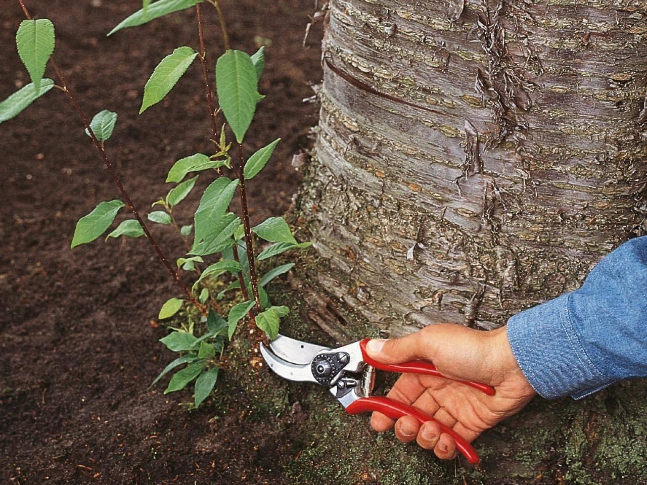 Корневая поросль вишни: как избавиться химией и народными средствами