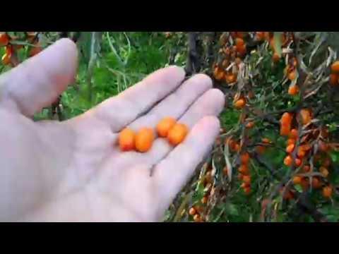 6 урожайных сортов облепихи без колючек