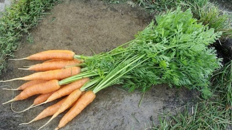 Морковь наполи: описание сорта, фото, отзывы, характеристика, достоинства и недостатки, особенности выращивания