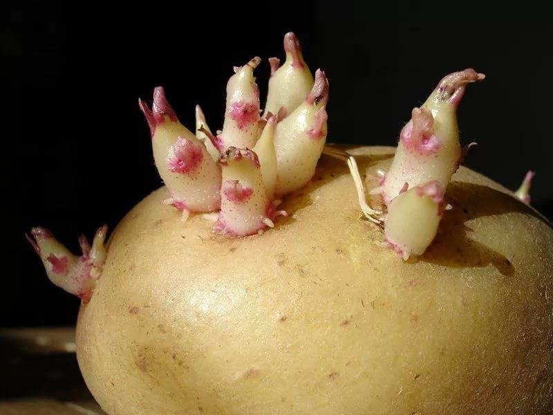 Описание картофеля барин: характеристика сорта, отзывы, вкусовые качества