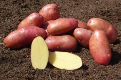 Сорт картофеля «барон» – описание и фото