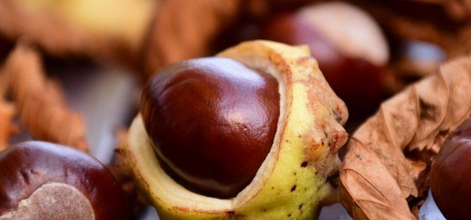 Орехи каштана польза и как делать лекарство